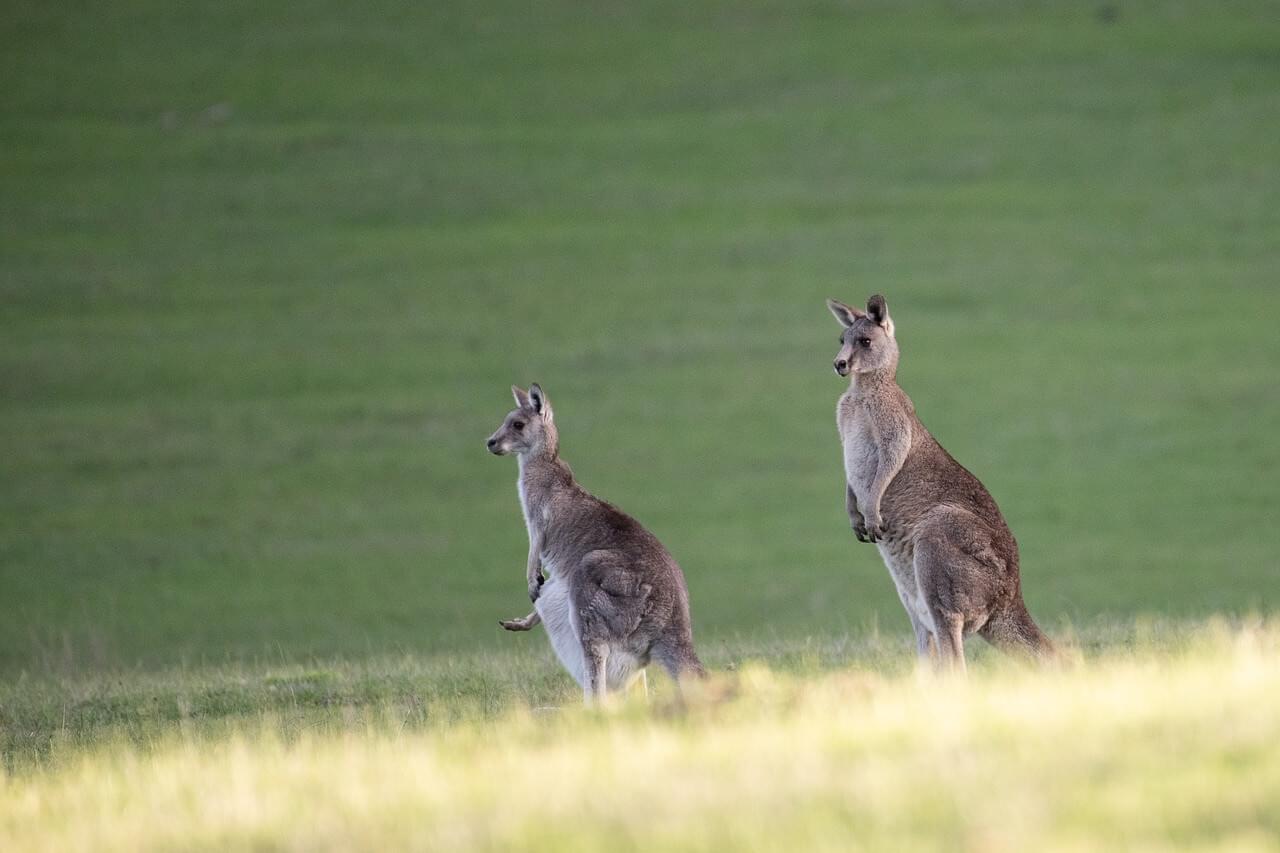 Känguru; Australien oder Neuseeland Tiere
